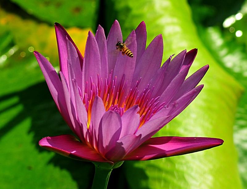 jan 21 3470 bee purple lotus