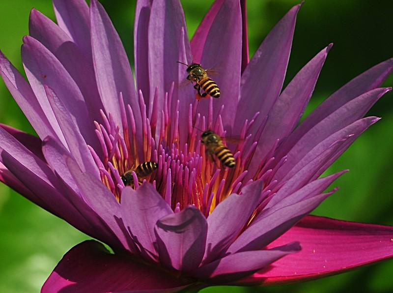 jan 21 3499 lotus bees
