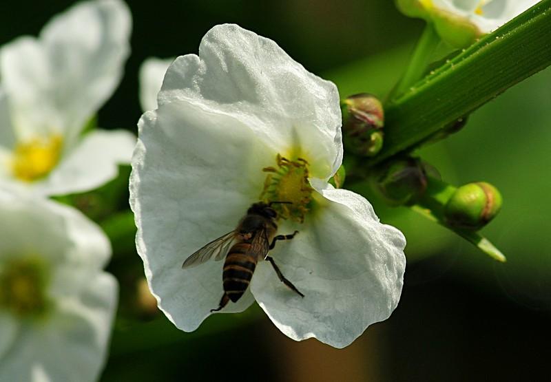 jan 21 3557 bee harvesting