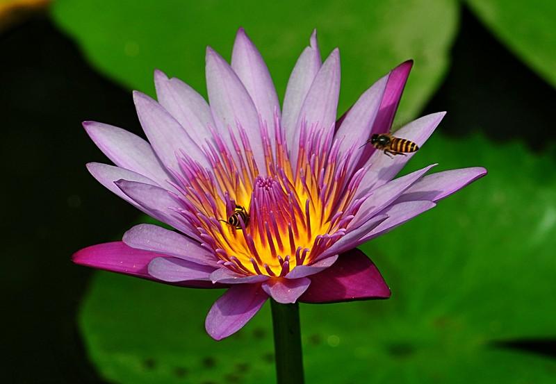 jan 21 3721 bee lotus