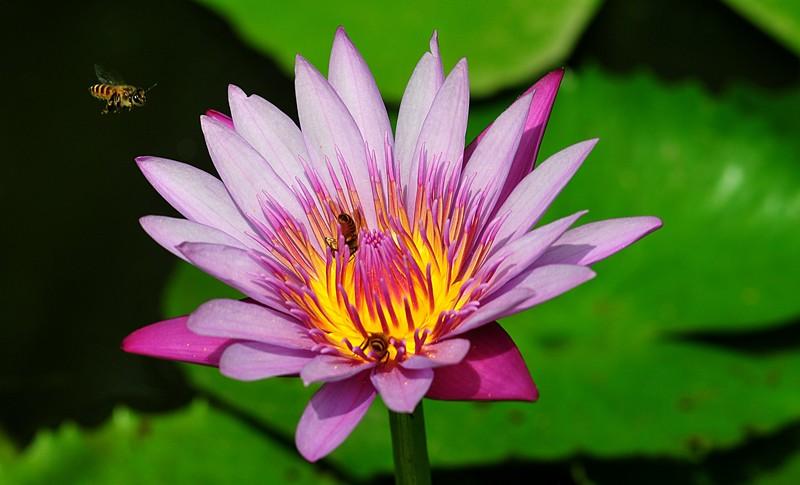 jan 21 3733 bee lotus