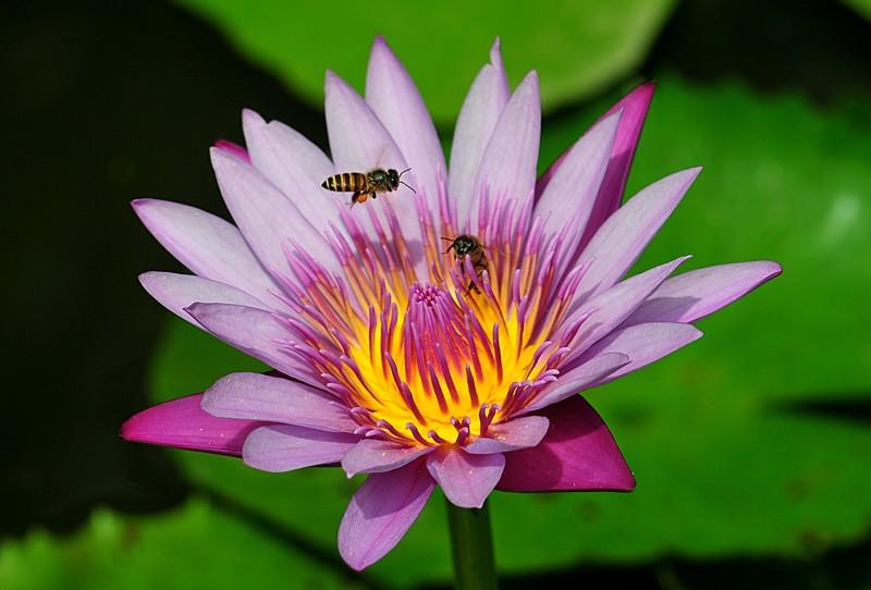 jan 21 3752 bee lotus