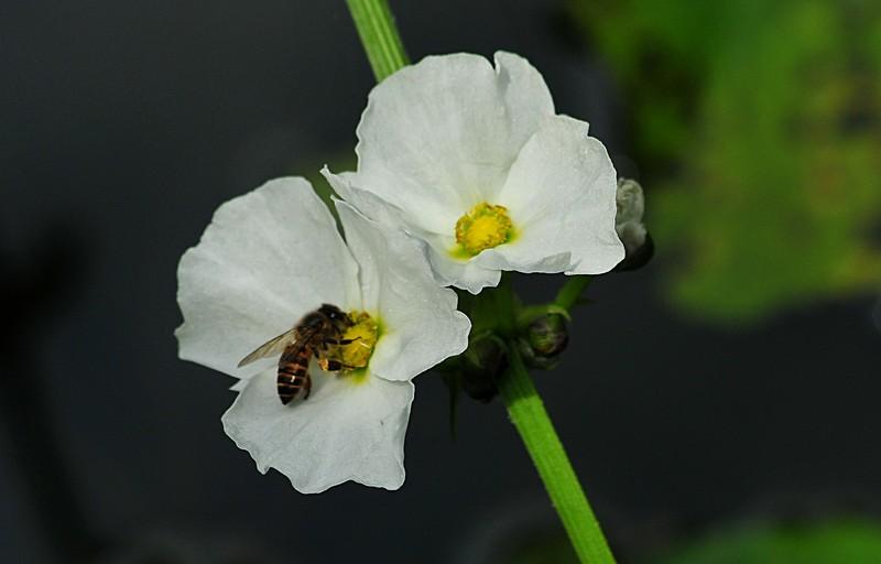 jan 21 3775 bee white flower