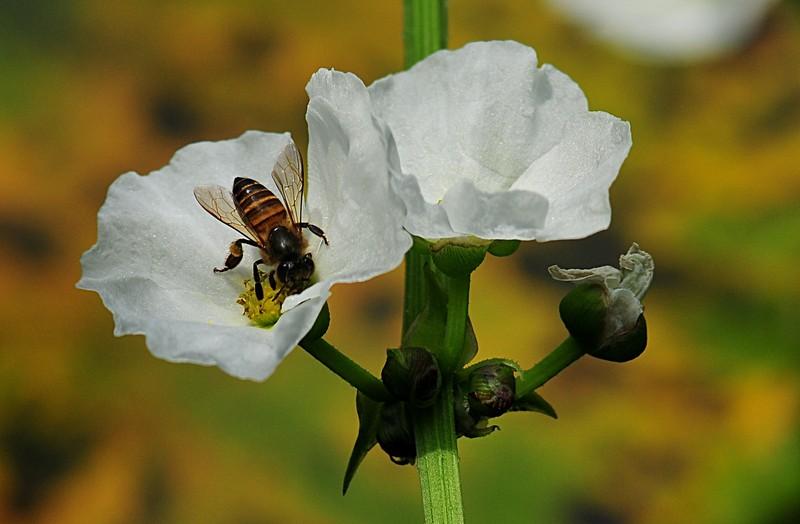 jan 21 3781 bee harvesting