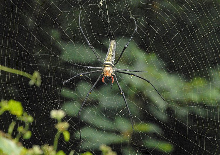 jan 21 4968 nephila male head