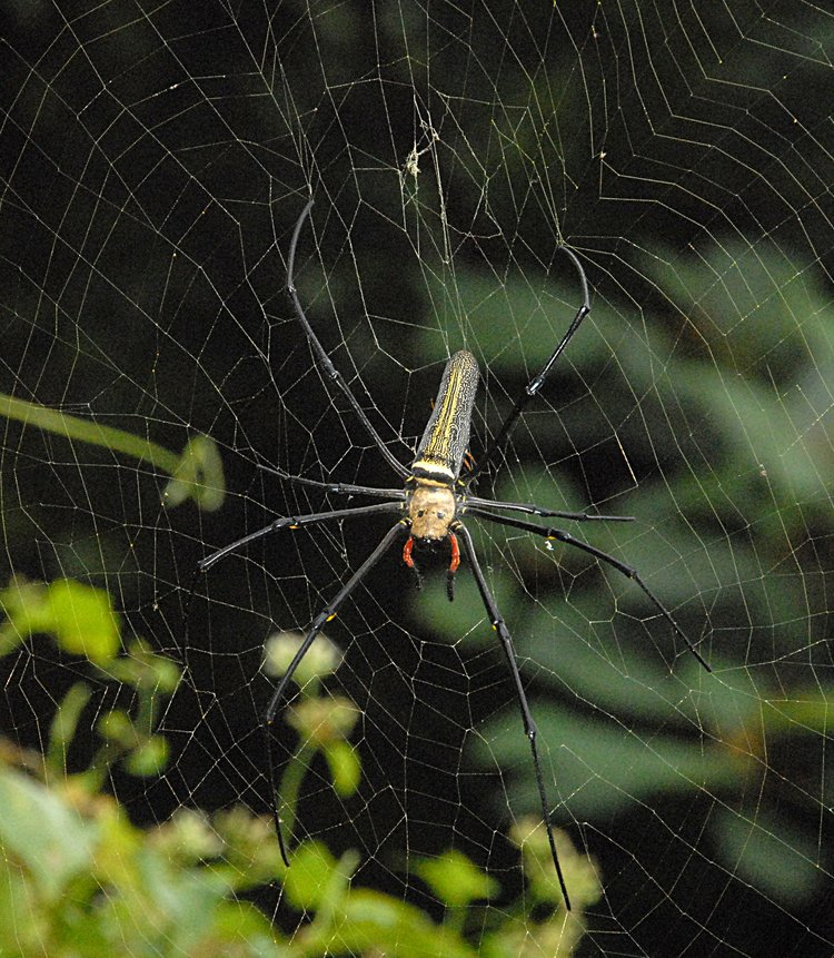 jan 21 4988 nephila male under