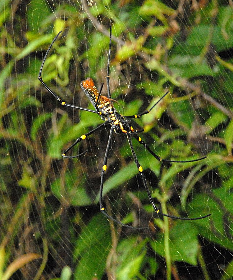 jan 21 5001 nephila mating