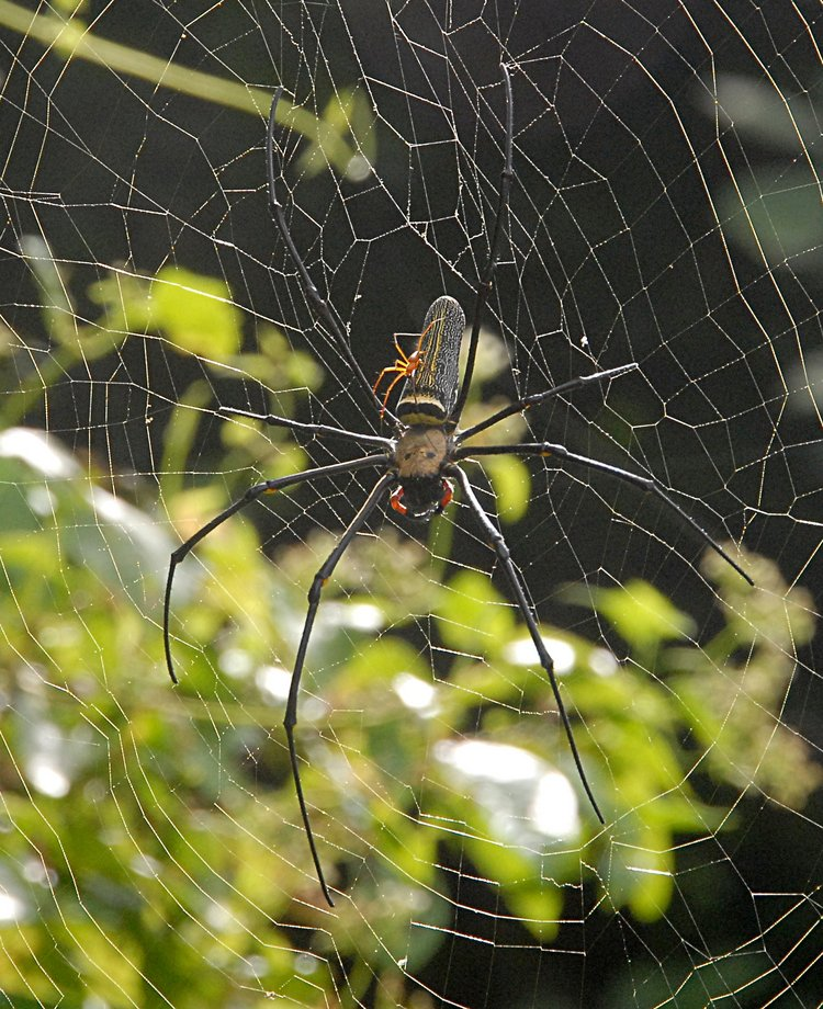 jan 21 5070 nephila male female top