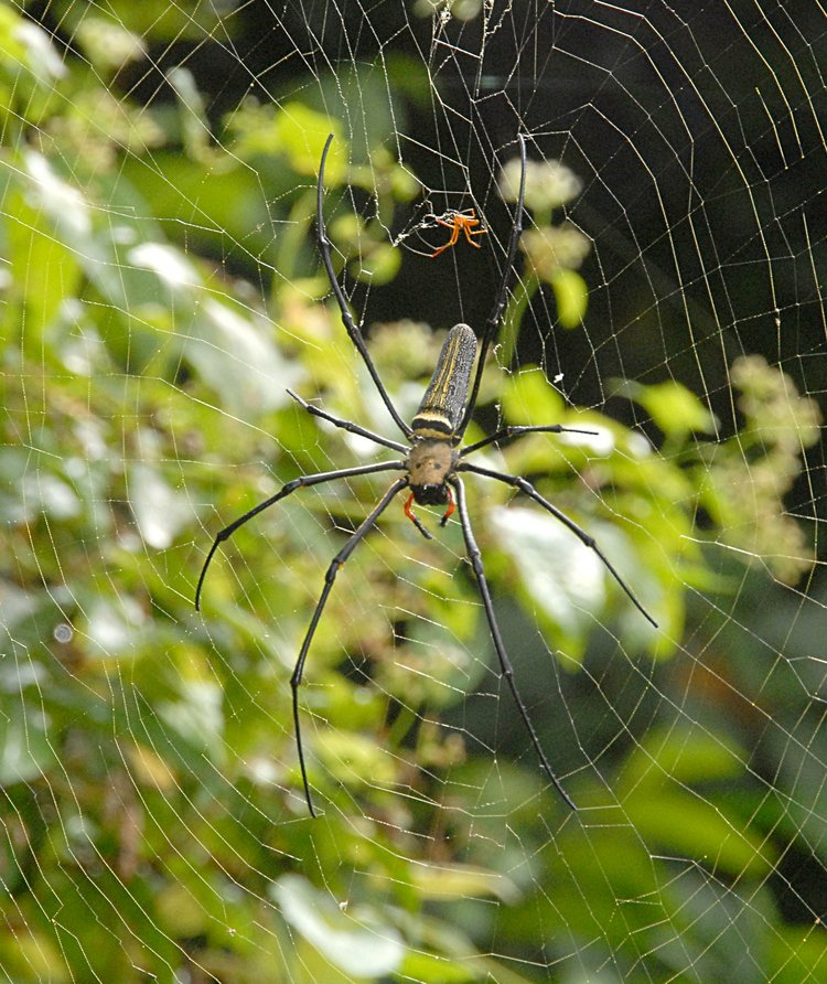 jan 21 5082 nephila male female