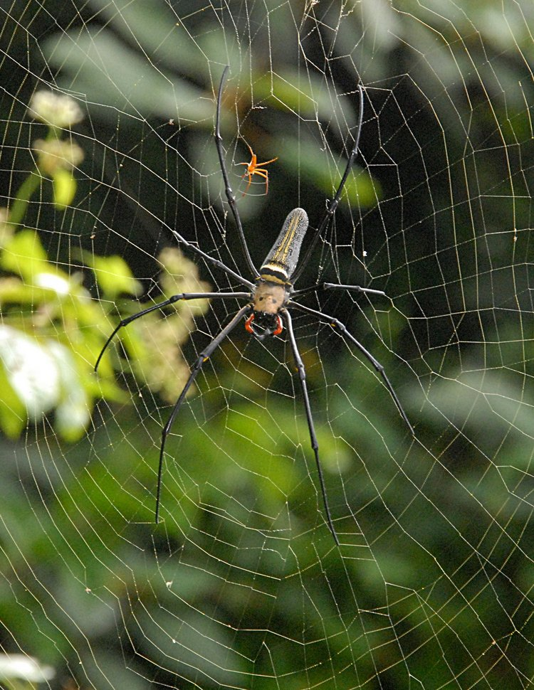 jan 21 5089 nephila male female