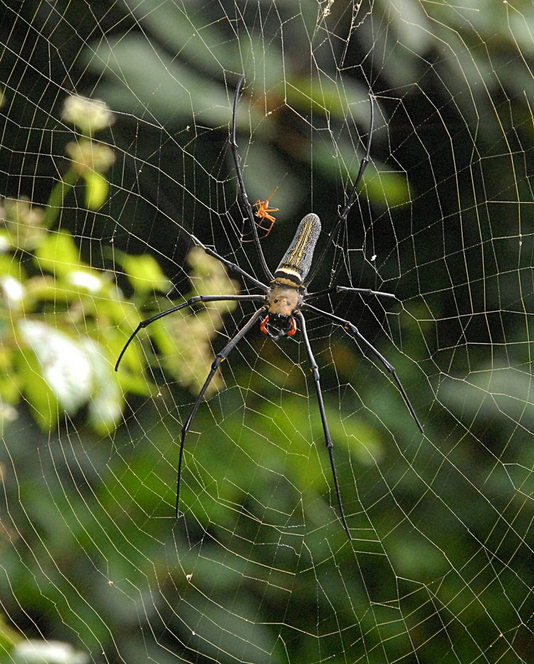 jan 21 5096 nephila male female