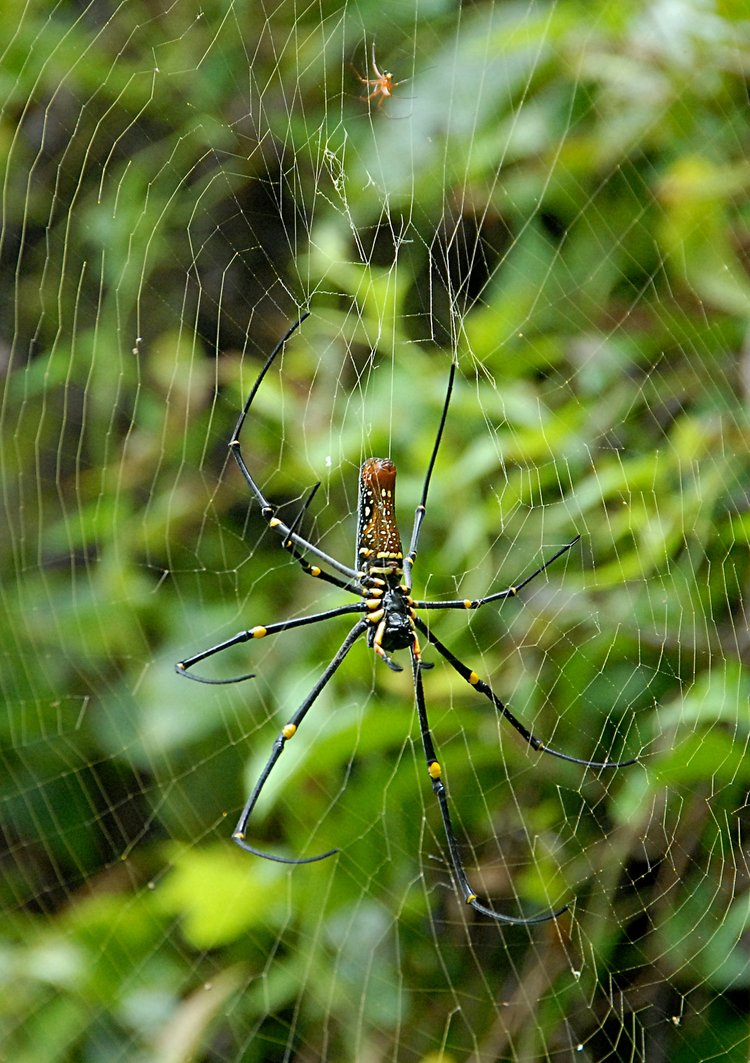 jan 21 5131 nephila male female