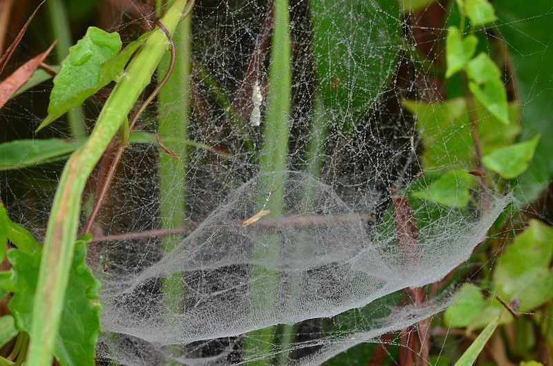 jan 21 5774 cyrtophora web outer structure