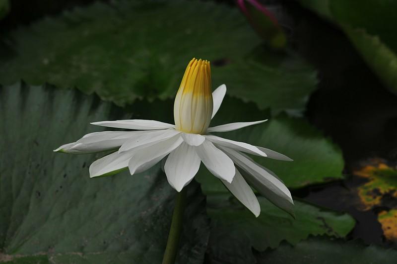 jan 22 4308 white lotus