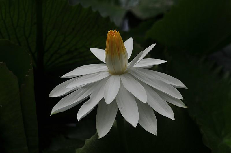 jan 22 4311 white lotus