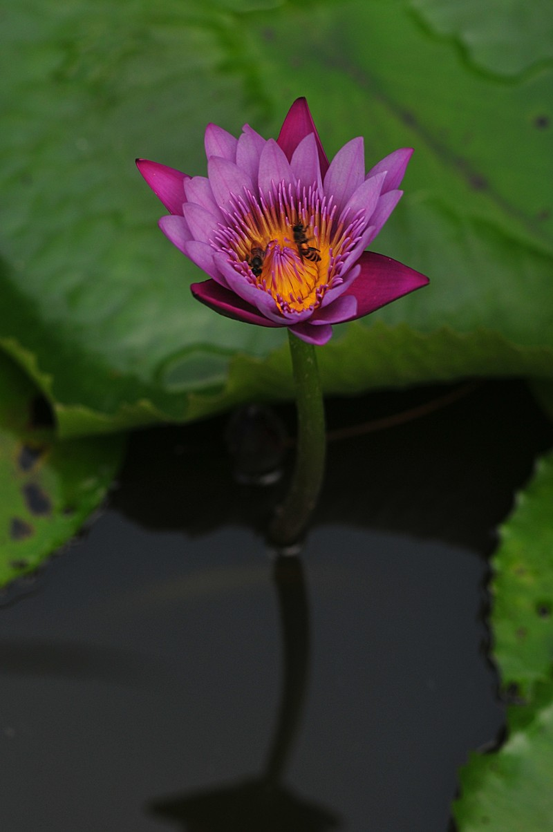 jan 22 4322 purple lotus