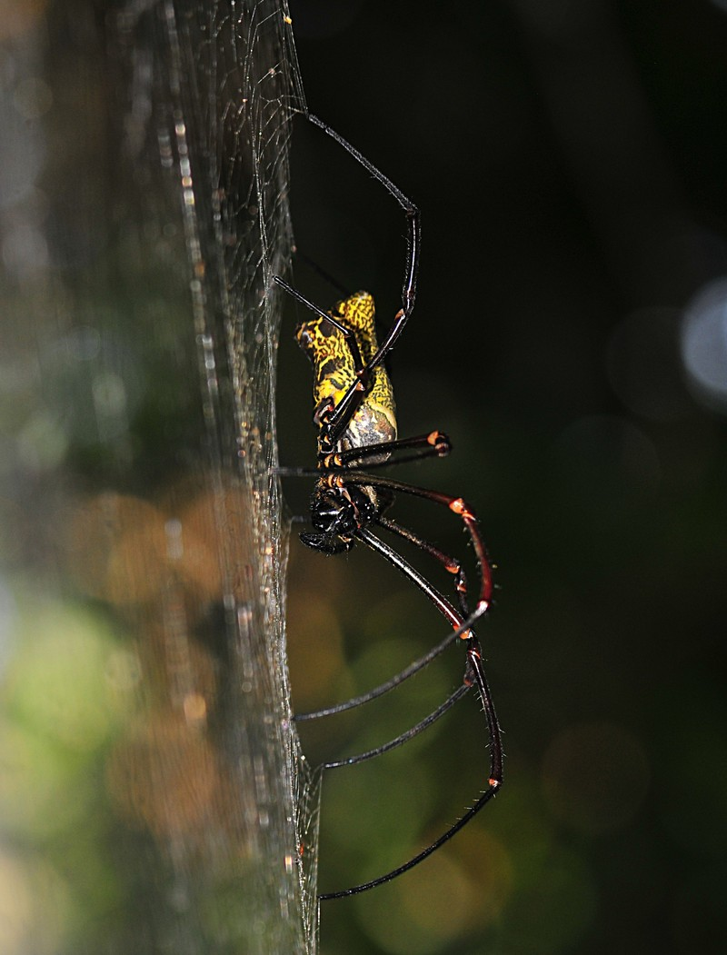 jan 22 4381 nephila side