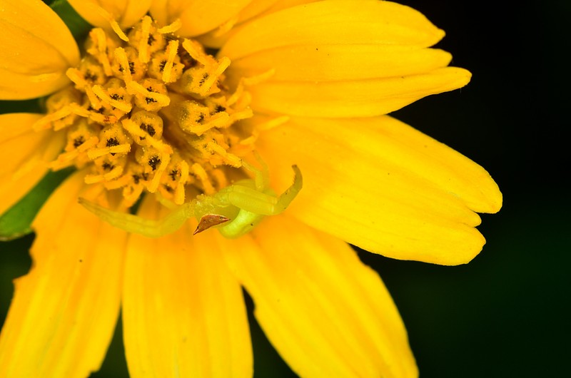 jan 28 5851 camouflage crab spider