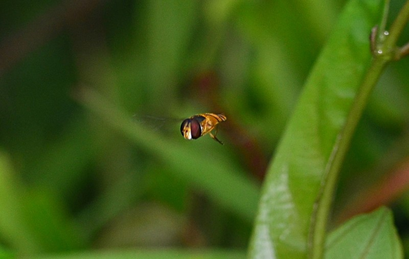jan 28 5929 hoverfly