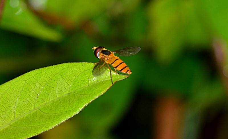 jan 28 5932 hoverfly