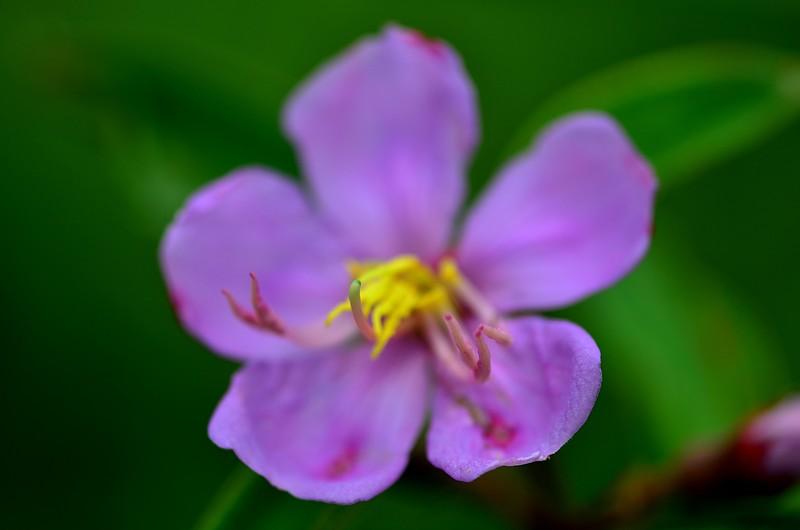 jan 28 5952 melastoma polyanthum tips
