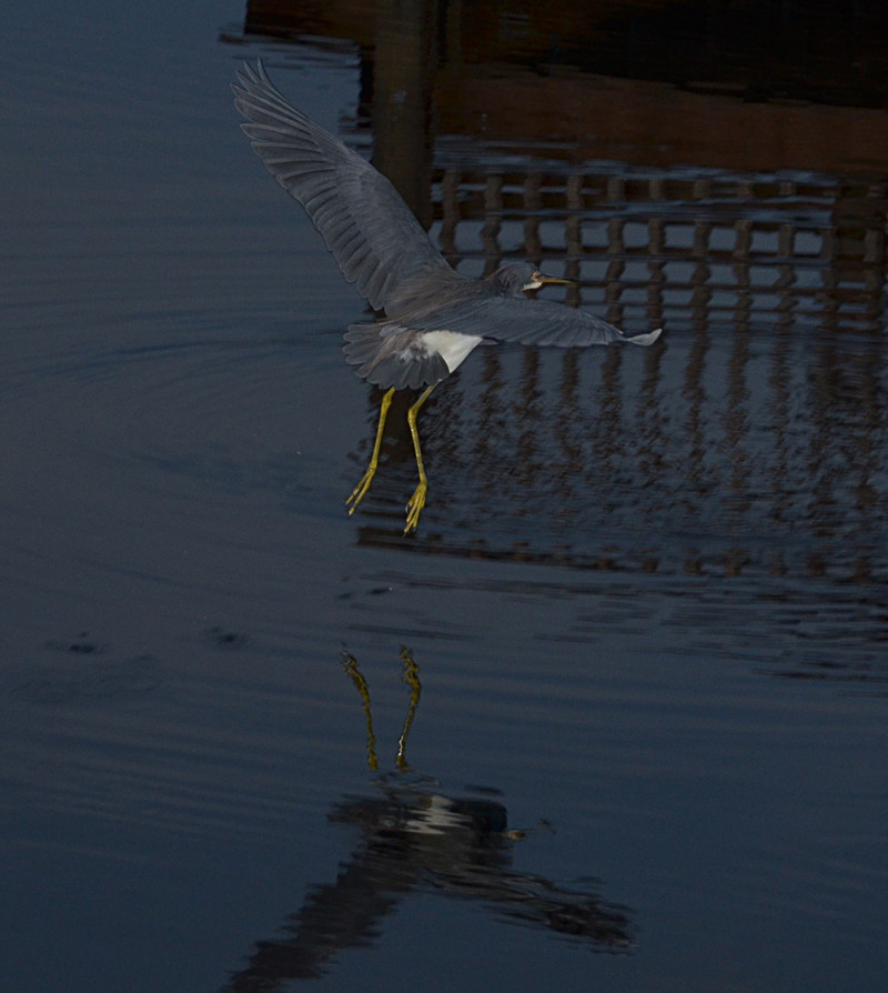 jan 29 5017 morning blue heron