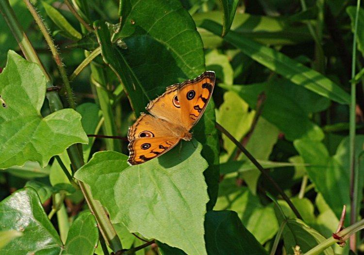 jan 31 0014 orange butterfly