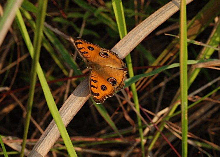 jan 31 0016 orange butterfly