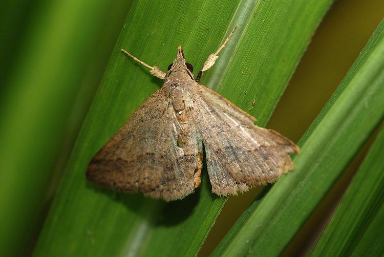 jan 31 0093 brown moth