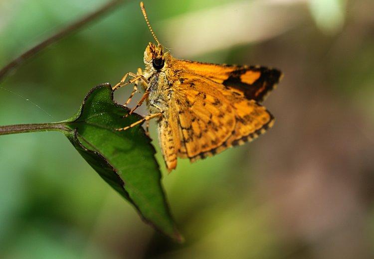jan 31 0125 orange butterfly close