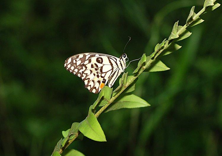 jan 31 0284 butterfly