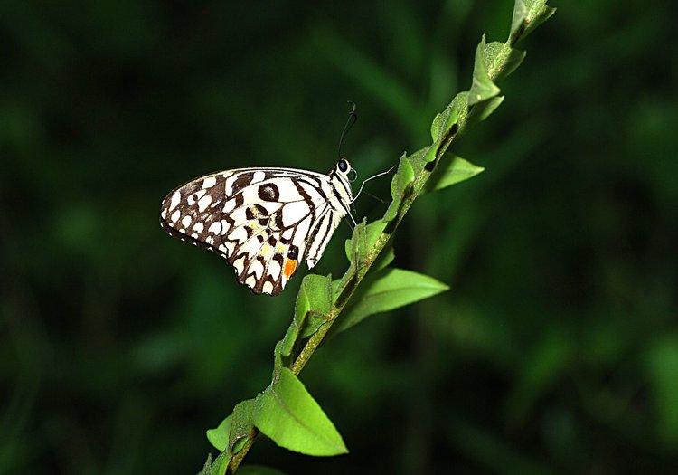 jan 31 0298 bw butterfly