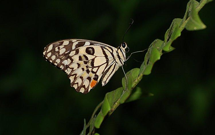jan 31 0309 bw butterfly