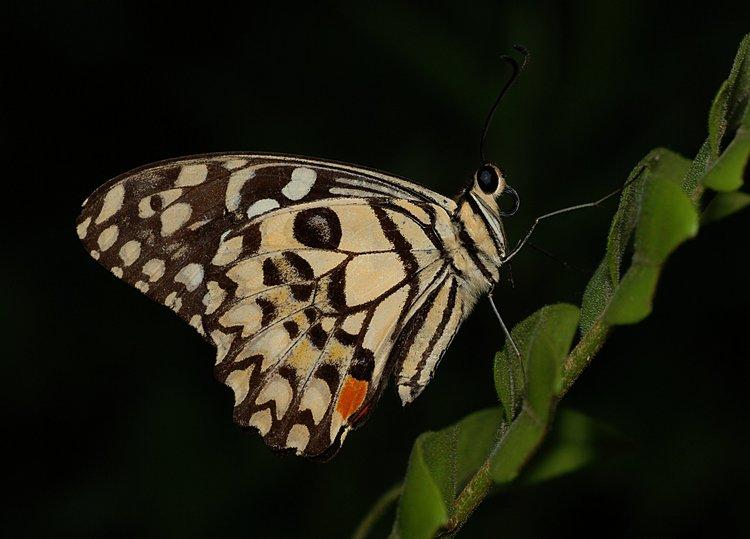 jan 31 0318 bw butterfly