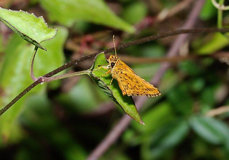 jan 31 111 orange butterfly