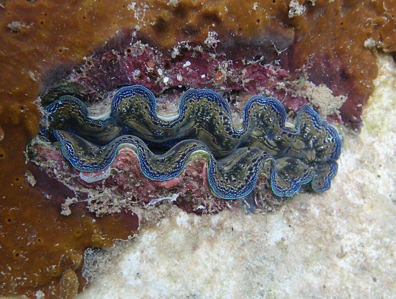 jul 04 0417 giant clam