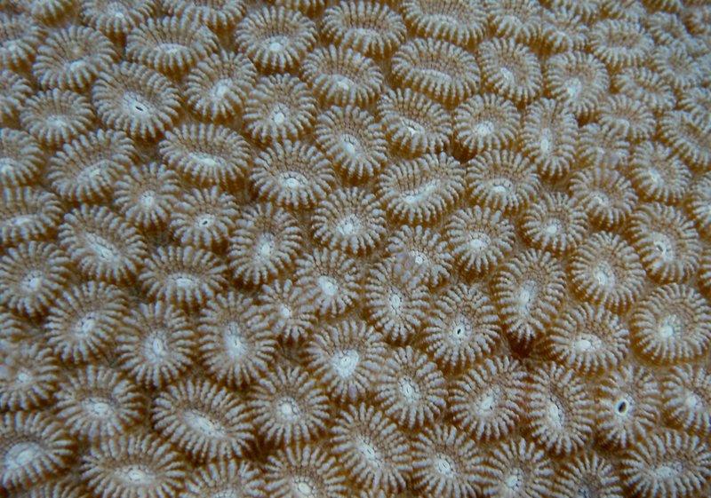 jul 04 0447 oval coral