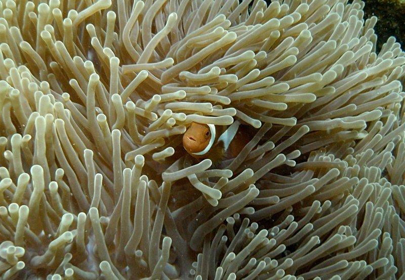 jul 04 0505 clown fish
