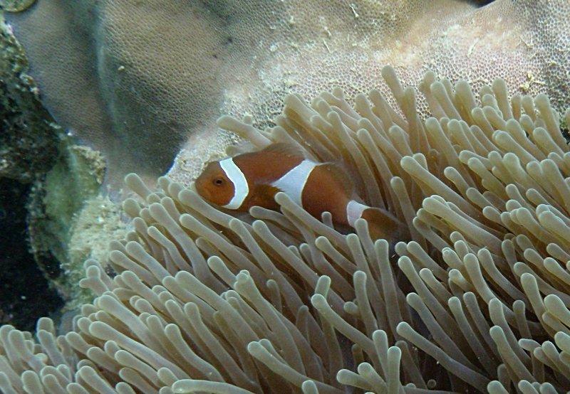 jul 04 0509 clown fish