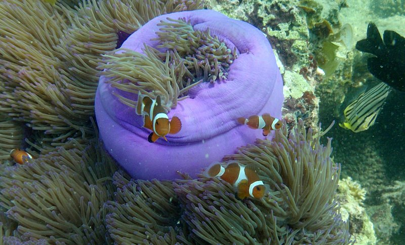 Photo essays for Blue clown fish