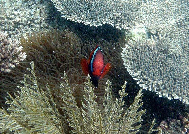 jul 04 0527 clown fish