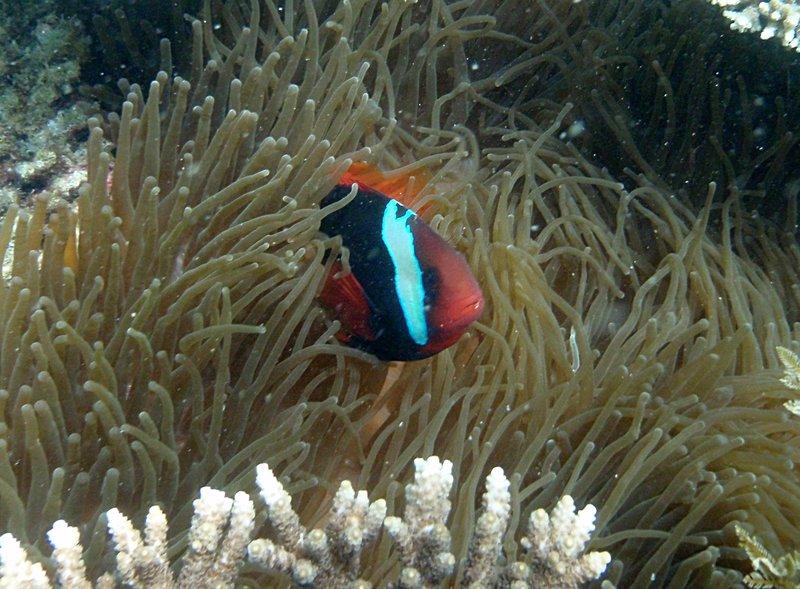 jul 04 0532 clown fish