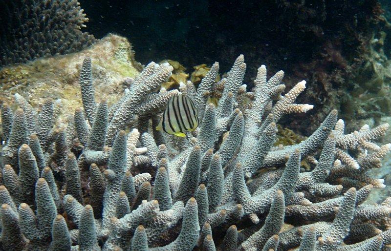 jul 04 0671 staghorn fish