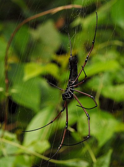 Nephila after mating