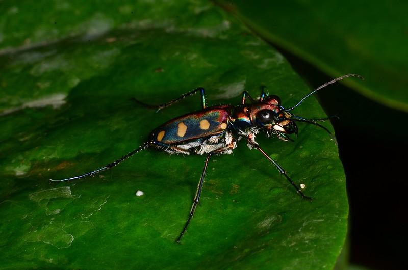 jul 07 7039 tiger beetle