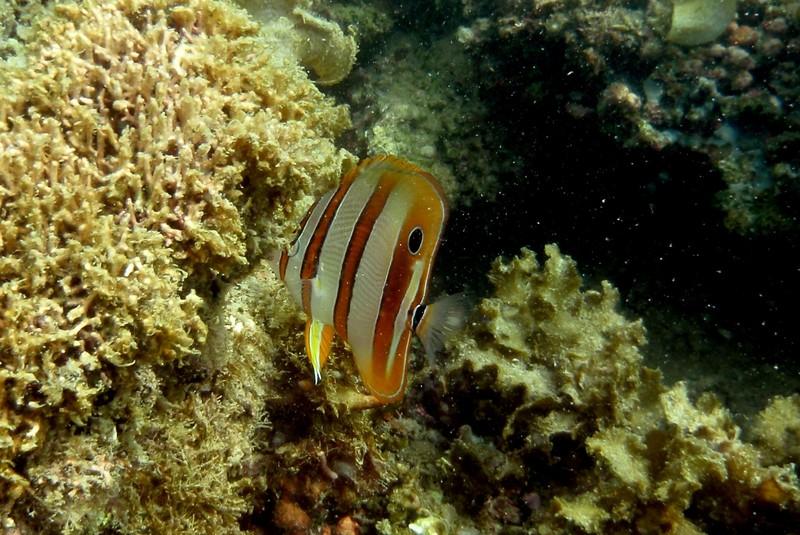 jul 09 2535 butterfly fish