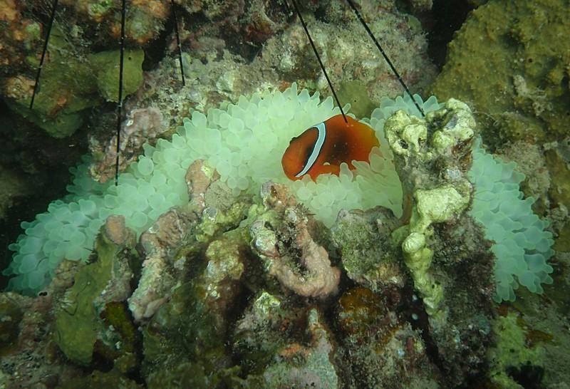 jul 09 2548 clown fish