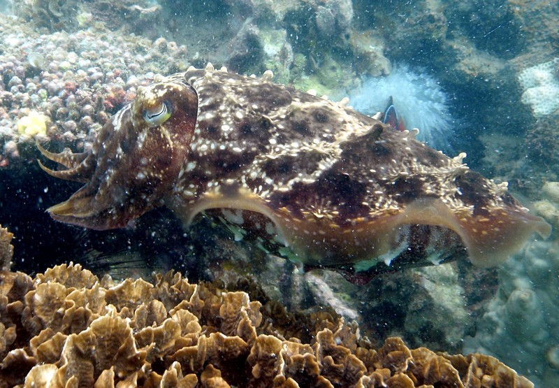 jul 09 2602 cuttlefish