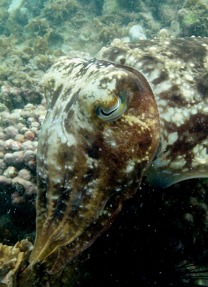 jul 09 2603 cuttlefish eye