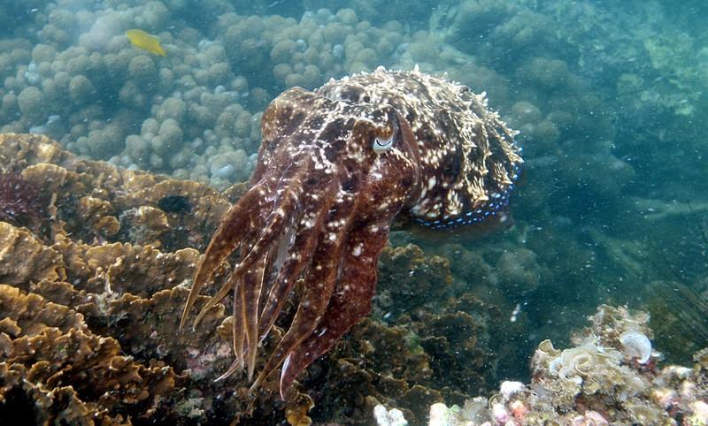 jul 09 2605 cuttlefish